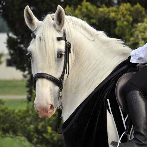 """one of Ayrshire Farm's """"smaller"""" Shires, being ridden in the demonstration"""