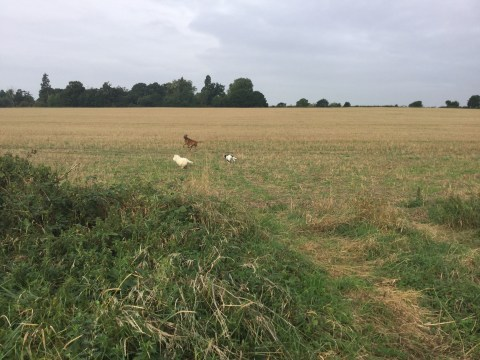 dog walking huntingdon