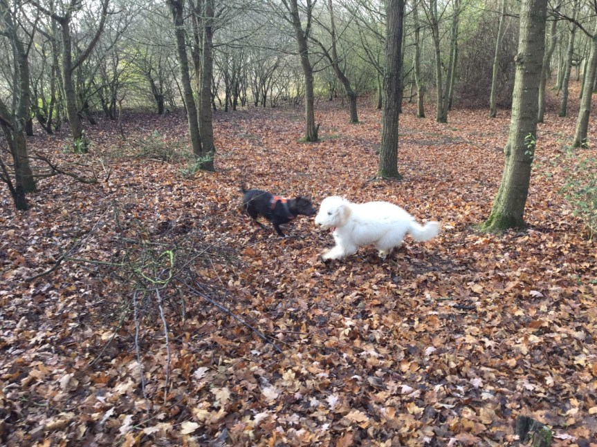 Dog socialisation Walk