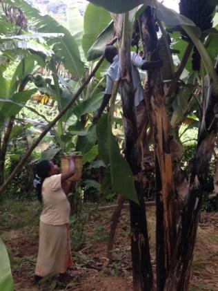 Gathering ibitoke (bananas)