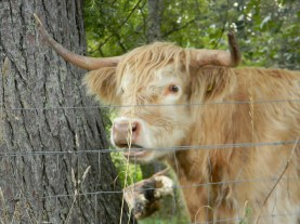 "Highland cow, or ""coo"""