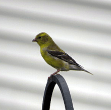 male American goldfinch in molt