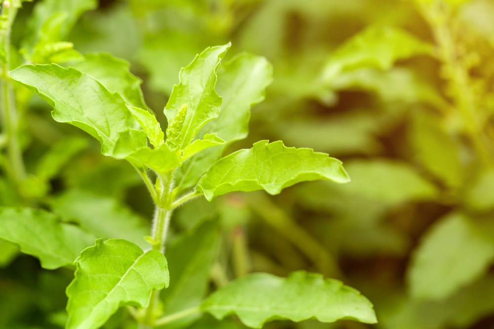 Holy basil, herbs are being used as spices cooked taste of the food.selective focus.