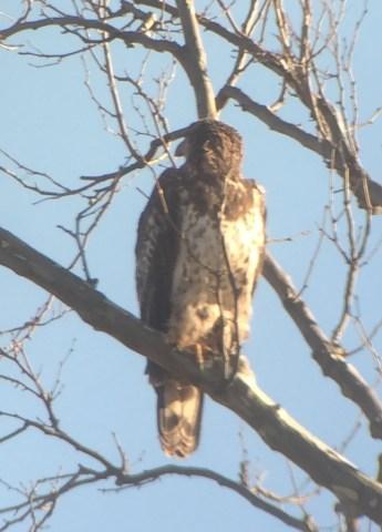 bird-eagle-juv-1
