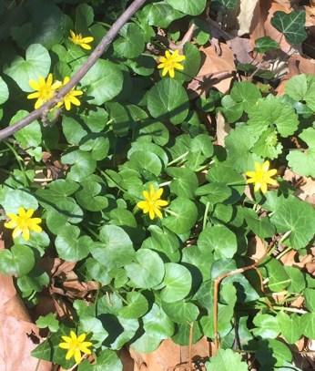 flower lesser celandine 1