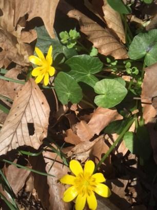 Flower lesser celandine 2
