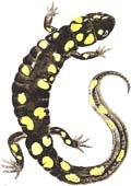 spotted-salmander1