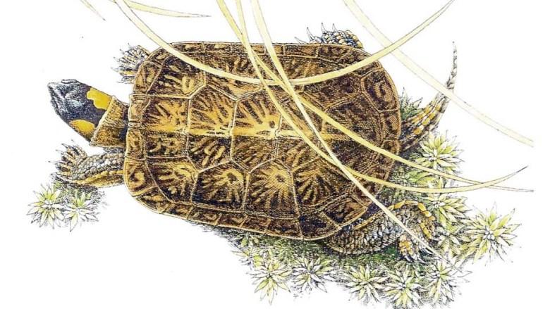 Bog Turtle Drawing