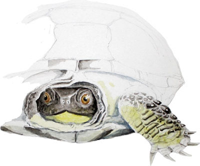 Study of a Blanding's Turtle
