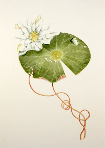 Waterlily Botanical Watercolor by David M. Carroll
