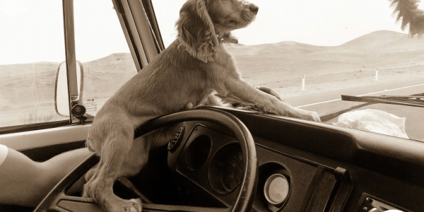 Cachorro solto dentro do carro