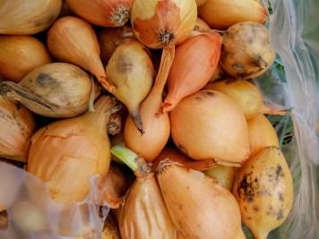 Onion Sets Sturon