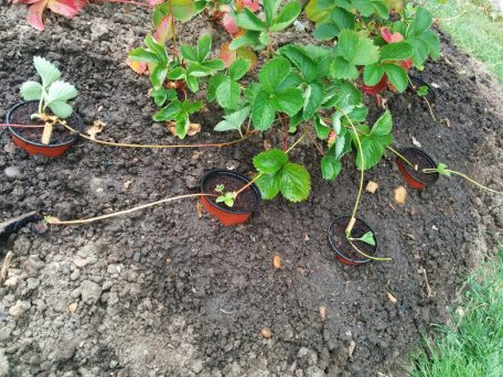 cultivating-strawberry-plants-2