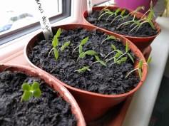 Gardener's Delight Tomatoes