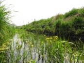 Jun2012 Ditch with flowering crowfoot on Flixton Carr