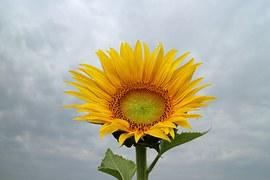 sunflower-516030__180