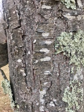 Black Birch Closeup
