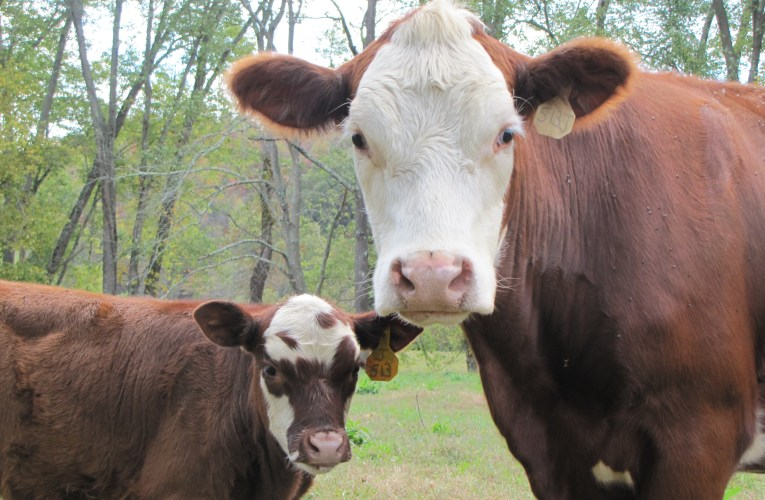 Extension Notes: Order beef cattle minerals now