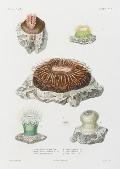 gravure ancienne -Actinia