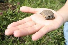 0010_Macin_Broasca Testoasa si reptile_2011_01_003
