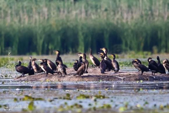 Adunare de pelicani si cormorani_1