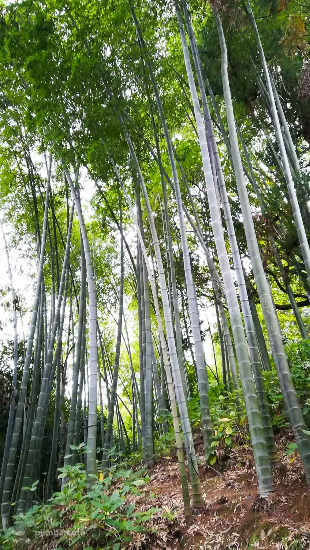 Padure de bambus in gradina botanica