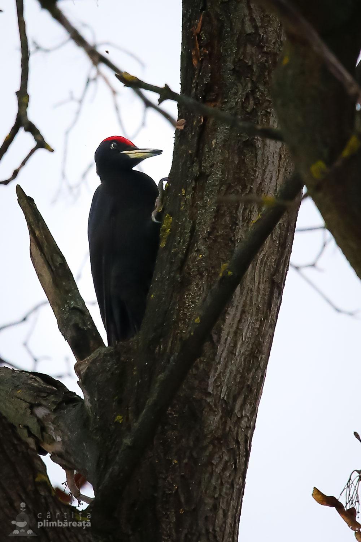 Ciocanitoare neagra(Dryocopus martius)
