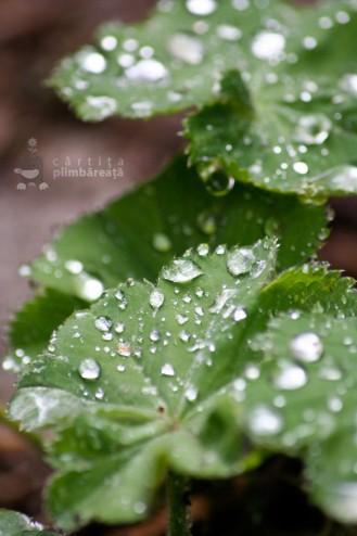 Roua pe frunze de Cretisoara - Iarba Maicii Domnului