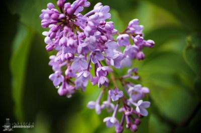 Liliac salbatic -Ciucarul Mic - Defileul Dunarii_5