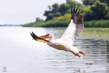 Pelican comun - Pelecanus onocrotalus_2