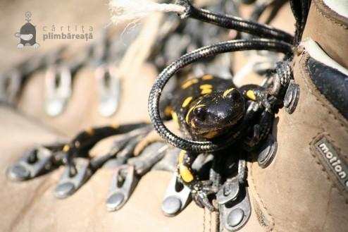 Salamandra - Piatra Craiului