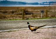 Ring-neck Pheasant, Palo Alto, 2016
