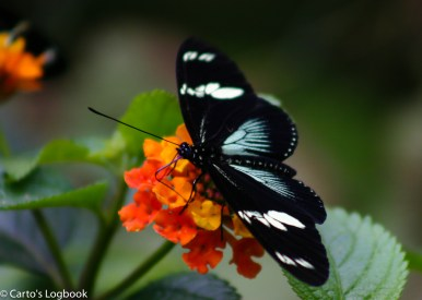 Butterfly and flower, Costa Rica