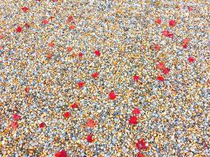 北野天満宮の庭に落ちる九月の紅葉