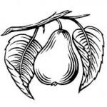 αχλαδοπιτα