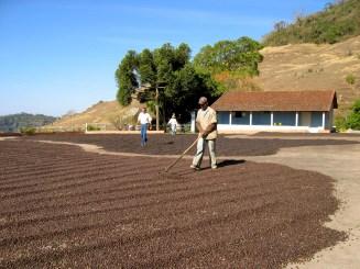 Natural processing at Fazenda Passeio