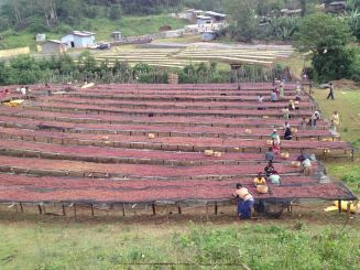 Cherries drying on raised beds: Yirgacheffe, Ethiopia