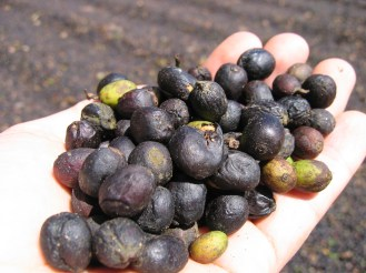 Prune-like dried coffee cherries at Fazenda Passeio