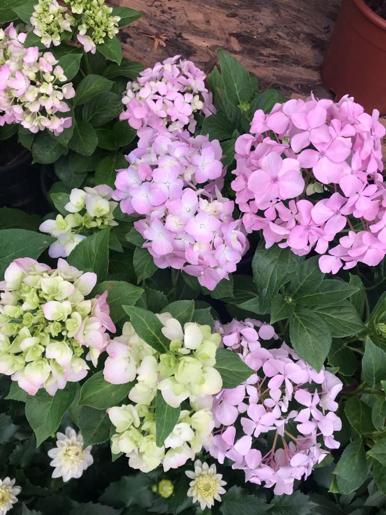 Como plantar e cuidar de hortênsias 02 Vision Art NEWS