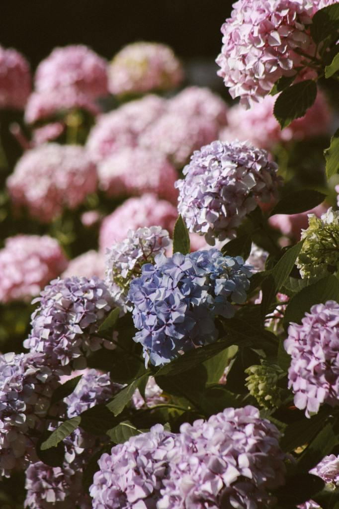 Como plantar e cuidar de hortênsias 03 Vision Art NEWS