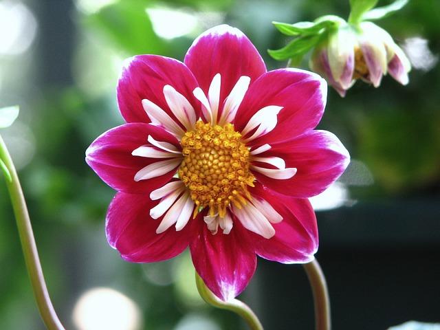 dalia flores jardim dicas cultivo birdloverus Vision Art NEWS