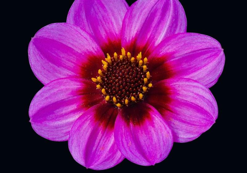 dalia flores jardim dicas cultivo pxfuel.com 2 Vision Art NEWS