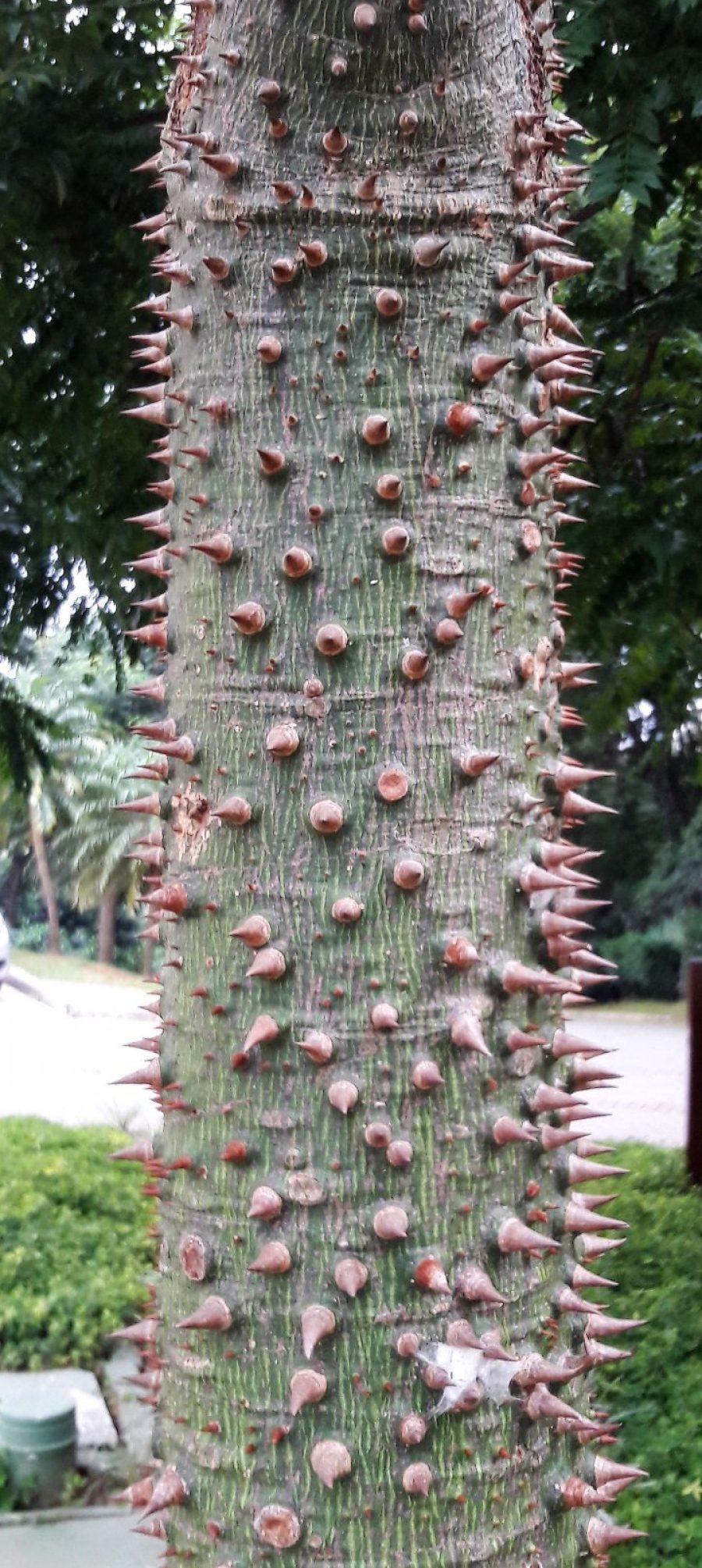 Espinhos do tronco de uma paineira jovem. A árvore é um dos mais belos exemplares da Mata Atlântica e é muito empregada em paisagismo, principalemnte em grandes jardins e canteiros de ruas e avenidas.