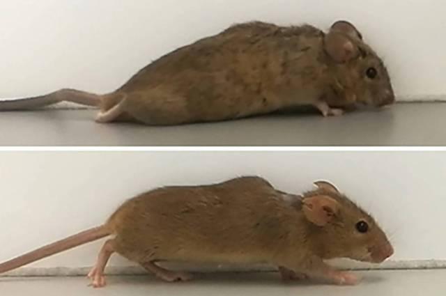 Ratos antes e depois do estudo