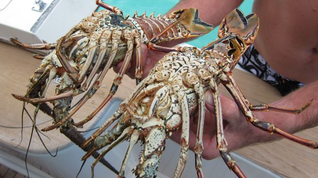 lobster dominican republic