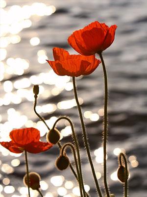 Poppies in the Sunset on Lake Geneva