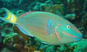 Spotlight Parrotfish