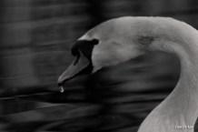 kao_swans2-1