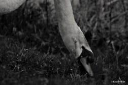 kao_swans3-2
