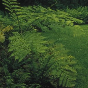 A tall Australian Tree Fern in a foliage garden